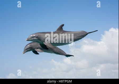 Bottlenose dolphins ( Tursiops truncates) jump, Bahamas - Stock Photo