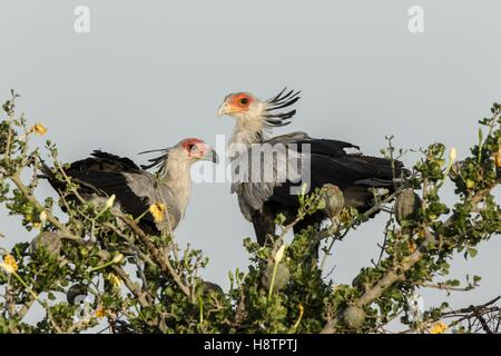 Kenya, Masai-Mara game reserve, secretary bird (Sagittarius serpentarius), in nest at sunrise - Stock Photo