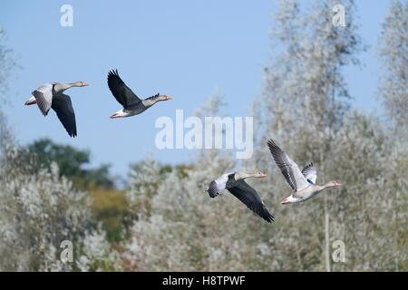 Greylag geese (Anser anser) in flight, Sauer Delta, Munchhausen, Nature Reserve of Delta Sauer, Alsace, France - Stock Photo