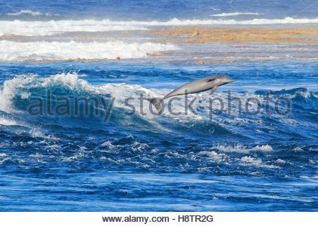Bottlenose Dolphin (Tursiops truncates) jumping in Tiputa pass, Rangiroa Atoll, French Polynesia. - Stock Photo