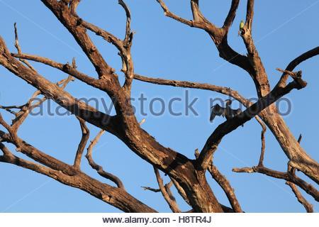 Oriental Darter (Anhinga melanogaster) drying on a dead tree, Sri Lanka. - Stock Photo