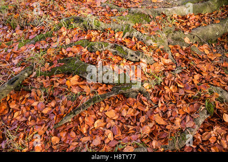 Fagus sylvatica – fallen leaves of European Beech trees in a deciduous woodland in autumn. November. Hampshire, - Stock Photo