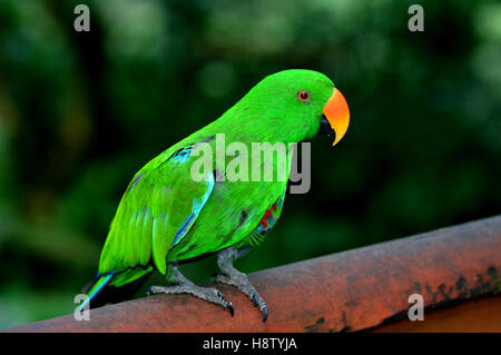 Eclectus parrot Male (green) (Eclectus roratus) is a parrot native to the Solomon Islands, Sumba, New Guinea and - Stock Photo