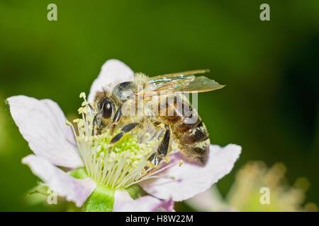 Honey bee on blackberry flower - Stock Photo
