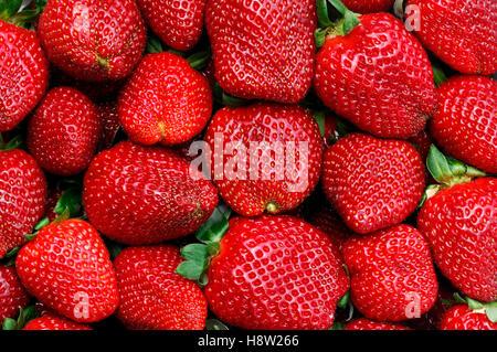 Freshly picked organic strawberries - Stock Photo