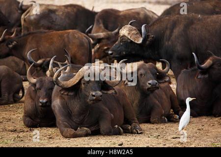 African buffalo (Syncerus caffer) herd resting and a cattle egret (Bubulcus ibis), Lake Manyara National Park, Tanzania - Stock Photo