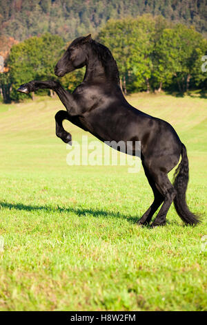 Friesian horse on hind legs, meadow, forest, Austria - Stock Photo