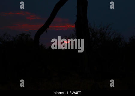 Stunning sunset over the open plains in Botswana Moremi game reserve with a giraffe & trees highlighted in the red - Stock Photo