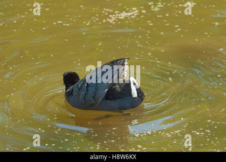 An American coot, Fulica americana, swimming in a pond and showing off his white tail feathers in an aggressive - Stock Photo
