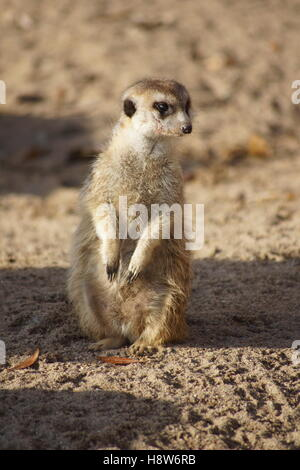 meerkat in the sun - Stock Photo