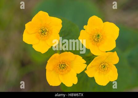 A quartet of marsh marigold blossoms, Caltha palustris, flowering in Wagner Bog Natural Area, Alberta, Canada - Stock Photo