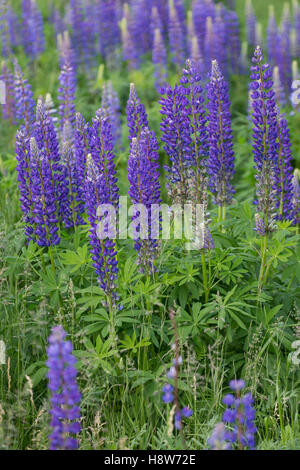 Vielblättrige Lupine, Stauden-Lupine, Staudenlupine, Lupinen, Lupinus polyphyllus, Large-leaved Lupine, Big-leaved - Stock Photo