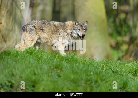 Europaeischer Wolf, Canis lupus, European grey wolf - Stock Photo