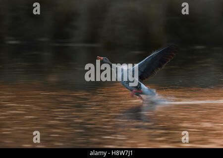 Greylag Goose ( Anser anser ), one adult, running over water, takes off from water, at dawn, soft atmospheric backlight. - Stock Photo