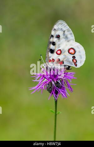 Roter Apollofalter Weibchen, Parnassius apollo lithographicus, Female Apollo Butterfly - Stock Photo