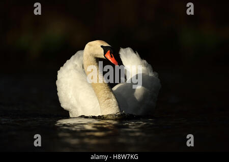 Mute Swan / Hoeckerschwan ( Cygnus olor ) swimming, half opened wings, elegant, in perfect light, frontal view, - Stock Photo
