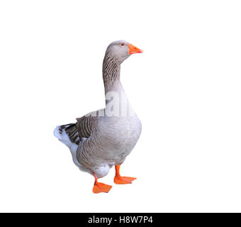 Male Greylag Goose isolated on white background. - Stock Photo