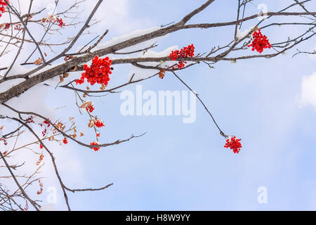 Red rowan berries and twigs against the blue sky and clouds in the snow. - Stock Photo
