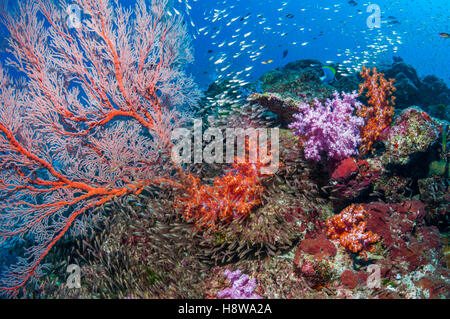 Pygmy sweepers [Parapriacanthus ransonetti] with a Gorgonian sea fan [Melithaea sp.] and soft corals [Dendronephthya - Stock Photo