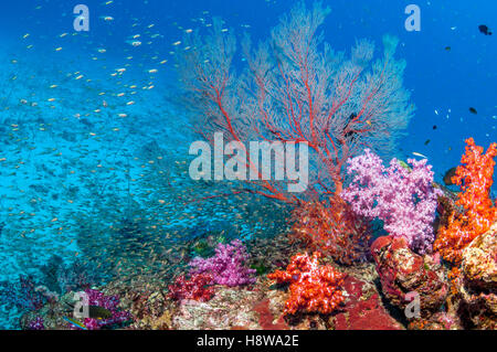 Gorgonian sea fan [Melithaea sp.], soft corals [Dendronephthya sp] and a school of Pygmy sweepers [Parapriacanthus - Stock Photo
