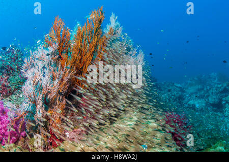 Gorgonian sea fans [Melithaea sp.] with a large school of Pygmy sweepers [Parapriacanthus ransonetti].  Andaman - Stock Photo
