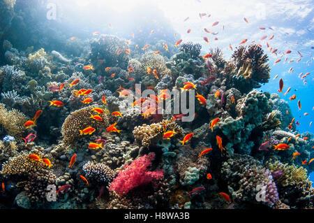 Coral reef scenery with Lyretail anthias or Goldies [Pseudanthias squamipinnis].  Egypt, Red Sea. - Stock Photo