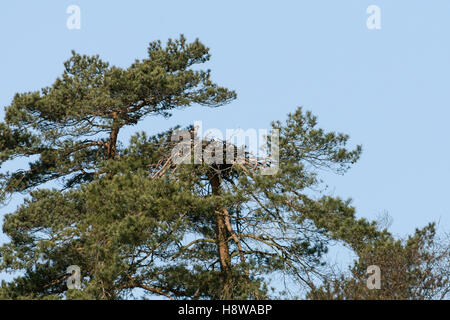 Western Osprey / Fischadler ( Pandion haliaetus ), pair, breeding, nesting high up in a pine tree, together on their - Stock Photo