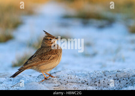 Galerida cristata standing on the dirty snow - Stock Photo