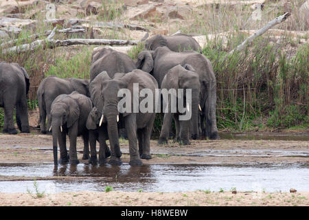 A breeding herd of elephants drinking from the last of the water in a shallow watering hole.  Taken in the Kruger - Stock Photo
