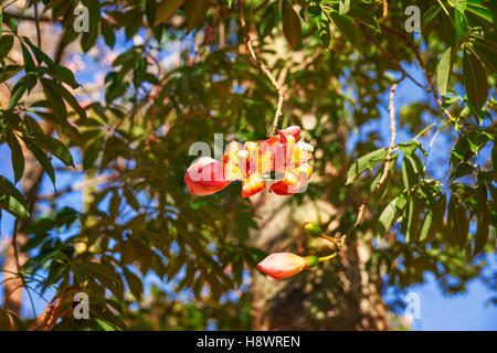 Flower in autumn of Floss Silk tree or Ceiba Speciosa , Garden Jardines del Real Viveros in Valencia, Spain - Stock Photo