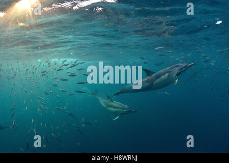 Beaked Common Dolphins (Delphinus capensis) group chasing sardines during the period of sardine-run - Off Port St. - Stock Photo