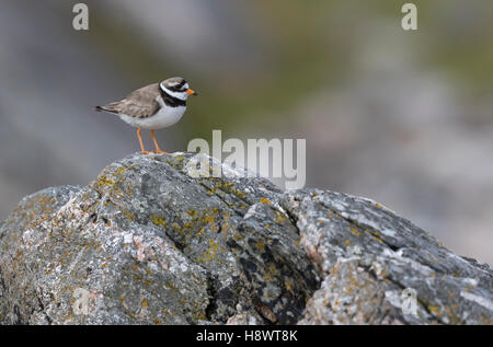 Ringed plover (Charadrius hiaticala) on a rock, Shetland - Stock Photo