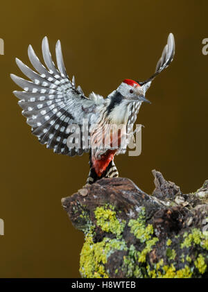 Middle Spotted Woodpecker (Dendrocoptes medius) landing on stump, Spain - Stock Photo