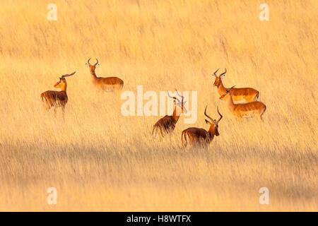 Impala (Aepyceros melampus) bucks in the savannah, Kenya - Stock Photo
