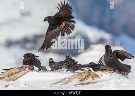 Alpine Choughs (Pyrrhocorax graculus) feeding on ground in winter, Alps, Valais, Switzerland - Stock Photo