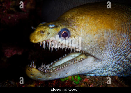 Portrait of Viper Moray (Enchelynassa canina) in the reef, Indian Ocean, Reunion - Stock Photo