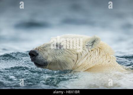 Polar Bear (Ursus maritimus) swimming near Harbour Islands, Repulse Bay, Nunavut Territory, Canada - Stock Photo