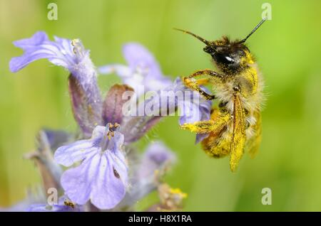 Red Mason Bee (Osmia bicornis) female on Bugle (Ajuga reptans) 2015 May 14 Northern Vosges Regional Nature Park - Stock Photo