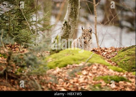 Eurasian lynx sitting in forest, Bayerischer Wald Park; Germany - Stock Photo