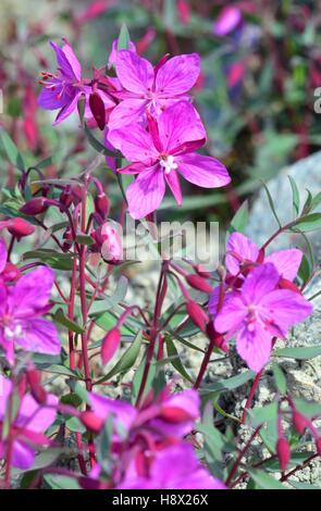 Denmark. Greenland. West coast. The Fireweed is the emblem of Greenland. it is blooming in july and august. - Stock Photo