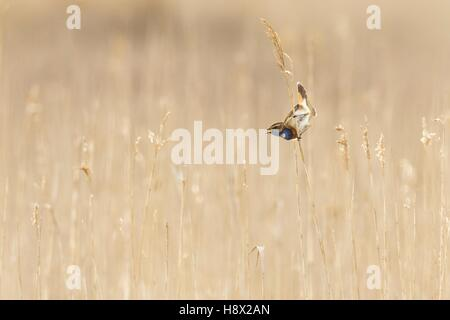 Singing Bluethroat male in courtship in a reed bed, Marsh Suscinio. - Stock Photo