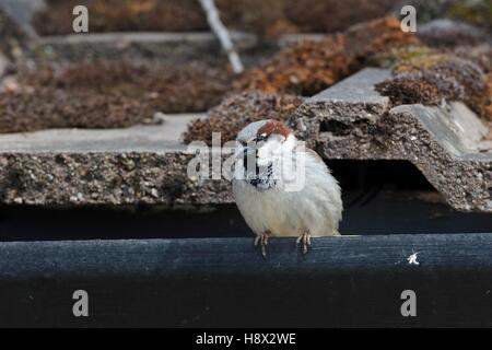 House sparrow, (Passer domesticus), single male on gutter, Warwickshire - Stock Photo