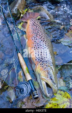 Brown trout (Salmo trutta fario), Fly Fishing, Haut Rhin, France - Stock Photo