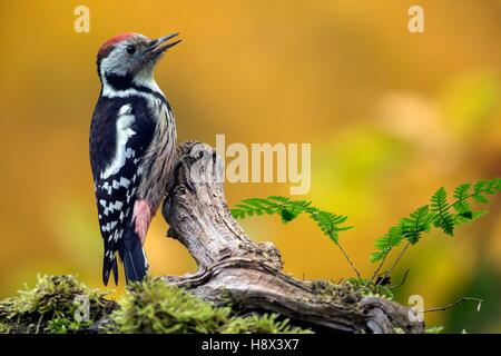 Middle Spotted Woodpecker (Dendrocopos medius), On a branch of dead wood in the fall in a country garden, Lorraine, - Stock Photo