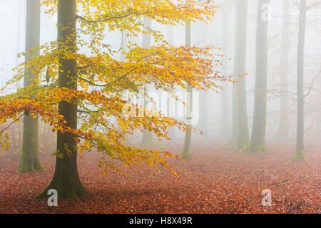 Beech Forest in Autumn, Nature park, Spessart, Bavaria, Germany, Europe - Stock Photo