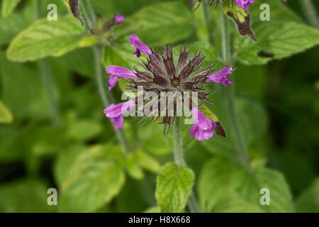 Wild Basil (Clinopodium vulgare). Allindelille Fredskov, Denmark in August - Stock Photo