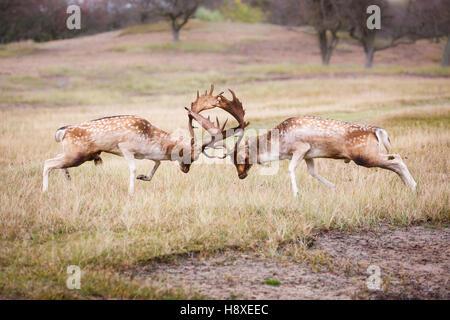 two fallow deer bucks fighting during the rutting season - Stock Photo