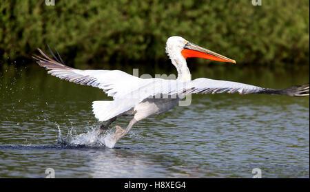 Dalmatian Pelican, Drift Reservoir, Cornwall, UK. 15/5/2016 - Stock Photo
