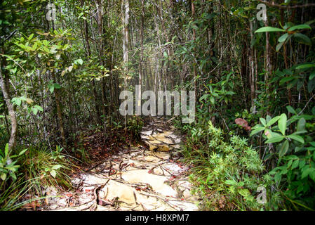 Trail with roots in the rainforest at Bako National Park ...