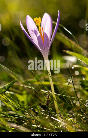 Flower of woodland crocus (Crocus sp.) in autumn, Basque Country, France, Europe - Stock Photo